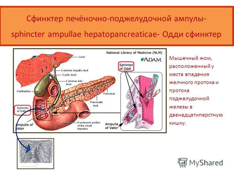 Сфинктер печёночно-поджелудочной ампулы- sphincter ampullae hepatopancreaticae- Одди сфинктер Мышечный жом, расположенный у места впадения желчного протока и протока поджелудочной железы в двенадцатиперстную кишку.