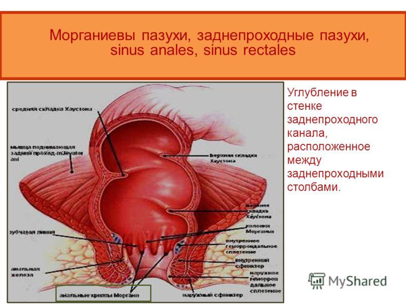 Морганиевы пазухи, заднепроходные пазухи, sinus anales, sinus rectales Углубление в стенке заднепроходного канала, расположенное между заднепроходными столбами.