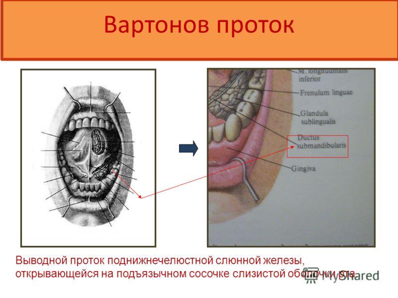 Вартон ов проток Выводной проток поднижнечелюстной слюнной железы, открывающейся на подъязычном сосочке слизистой оболочки рта.