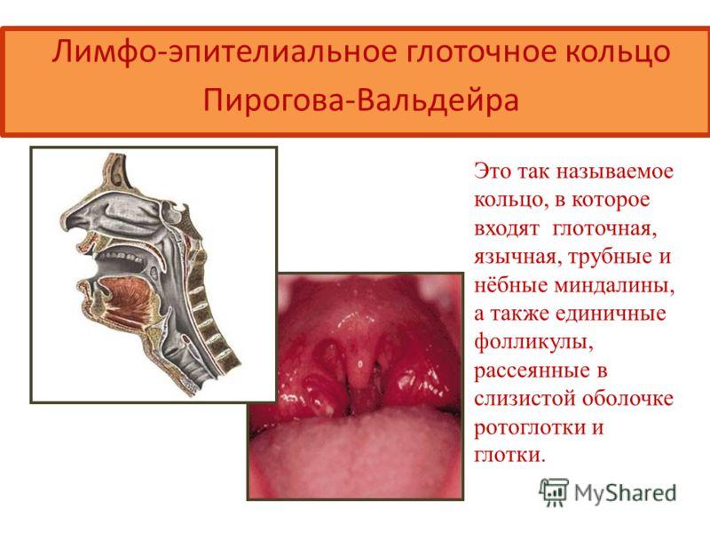 Лимфо-эпителиальное глоточное кольцо Пирогова-Вальдейра Это так называемое кольцо, в которое входят глоточная, язычная, трубные и нёбные миндалины, а также единичные фолликулы, рассеянные в слизистой оболочке ротоглотки и глотки.