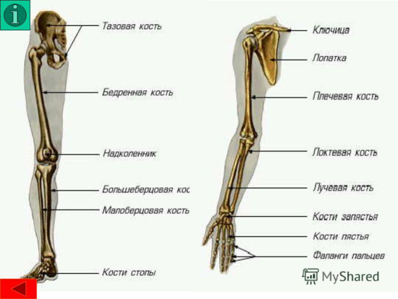ГРУДИНА, кость у наземных позвоночных животных и человека, соединяющая по средней линии тела брюшные концы грудных ребер (кроме земноводных) и кости плечевого пояса. У человека грудина непарная кость; образует среднюю часть передней стенки грудной кл