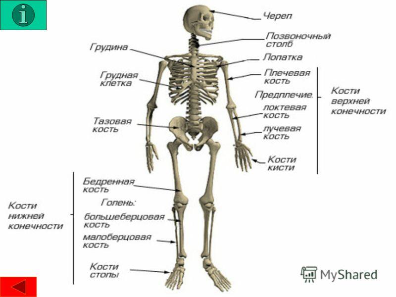Следующая стр. Анатомия