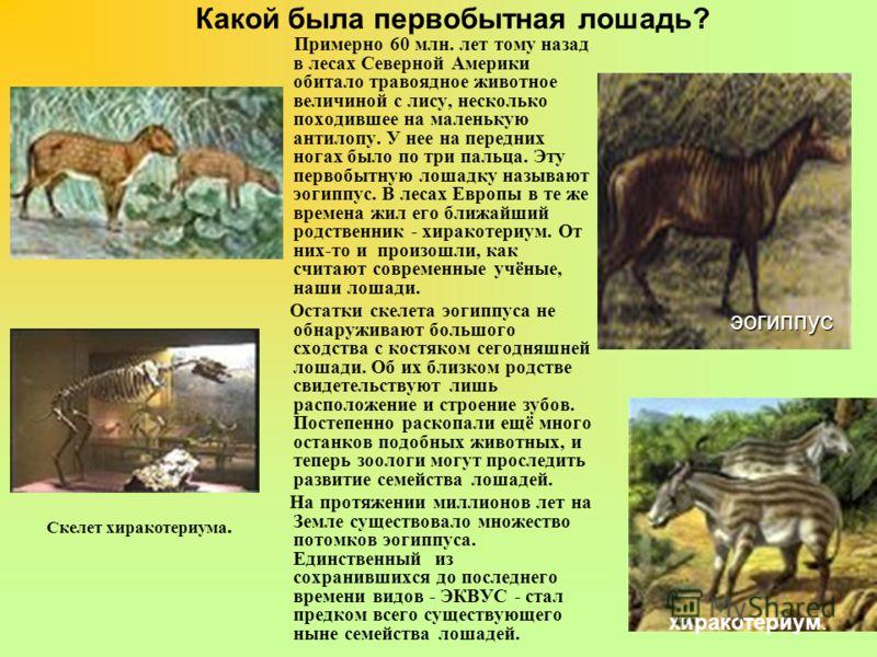 Какой была первобытная лошадь? Примерно 60 млн. лет тому назад в лесах Северной Америки обитало травоядное животное величиной с лису, несколько походившее на маленькую антилопу. У нее на передних ногах было по три пальца. Эту первобытную лошадку назы