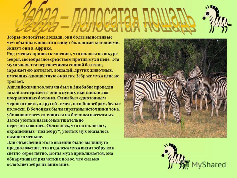 Зебры- полосатые лошади, они более выносливые чем обычные лошади и живут большими колониями. Живут они в Африке. Ряд ученых пришел к мнению, что полосы на шкуре зебры, своеобразное средством против мухи цеце. Эта муха является переносчиком сонной бол