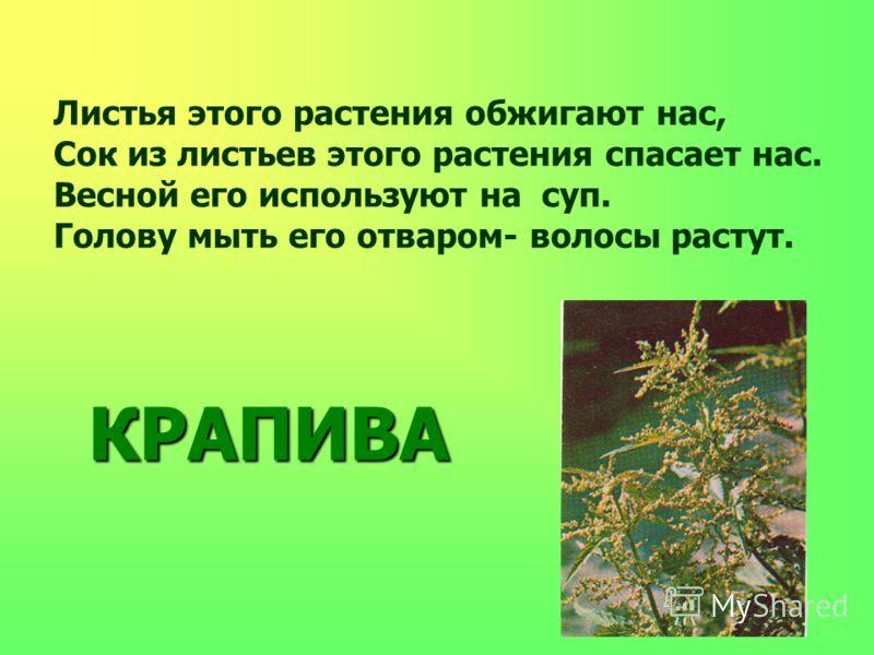 Листья этого растения обжигают нас, Сок из листьев этого растения спасает нас. Весной его используют на суп. Голову мыть его отваром- волосы растут. КРАПИВА