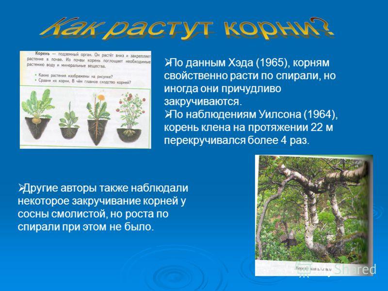По данным Хэда (1965), корням свойственно расти по спирали, но иногда они причудливо закручиваются. По наблюдениям Уилсона (1964), корень клена на протяжении 22 м перекручивался более 4 раз. Другие авторы также наблюдали некоторое закручивание корней