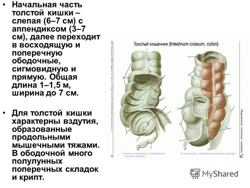 Начальная часть толстой кишки – слепая (6–7 см) с аппендиксом (3–7 см), далее переходит в восходящую и поперечную ободочные, сигмовидную и прямую. Общая длина 1–1,5 м, ширина до 7 см. Для толстой кишки характерны вздутия, образованные продольными мыш