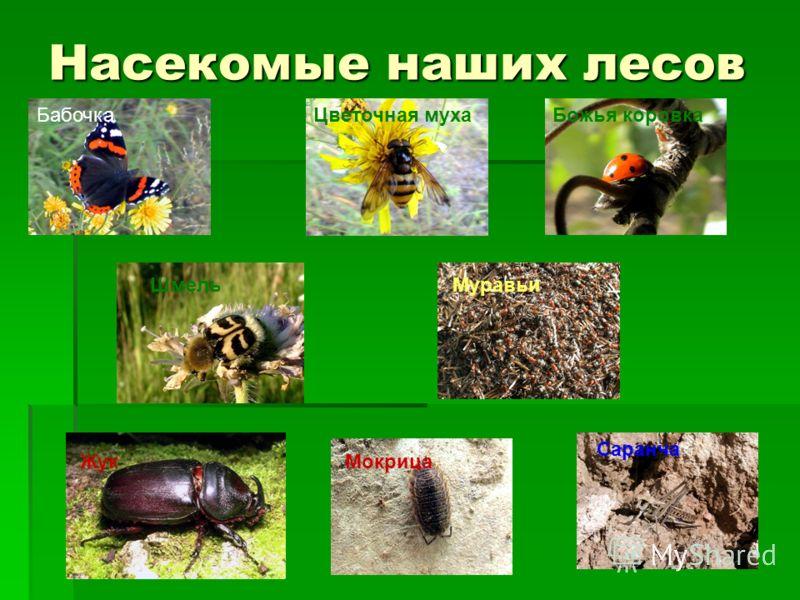 Насекомые наших лесов БабочкаЦветочная мухаБожья коровка ШмельМуравьи ЖукМокрица Саранча