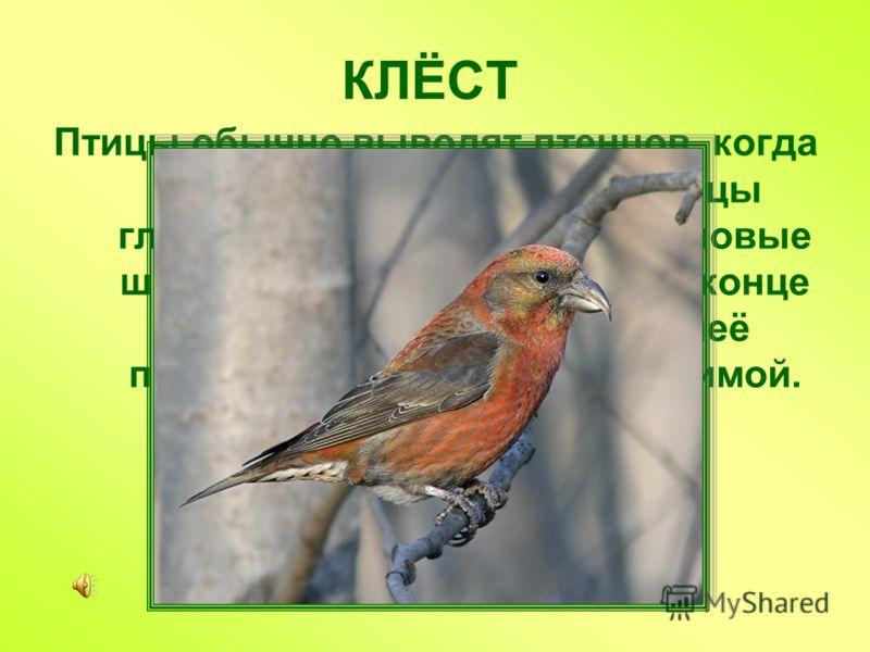 КЛЁСТ Птицы обычно выводят птенцов, когда у них много еды. У этой птицы главная пища – еловые и сосновые шишки, которые созревают в конце года. Поэтому и птенцы у неё появляются осенью и даже зимой.