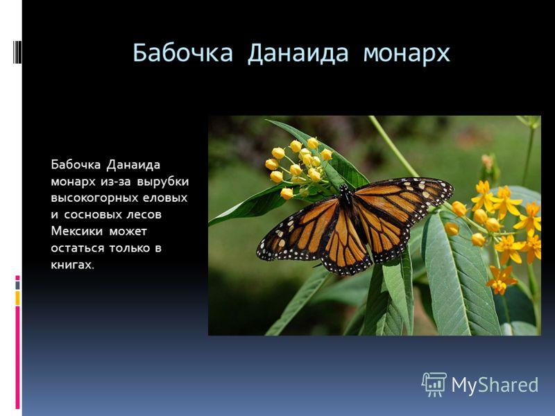 Бабочка Данаида монарх Бабочка Данаида монарх из-за вырубки высокогорных еловых и сосновых лесов Мексики может остаться только в книгах.