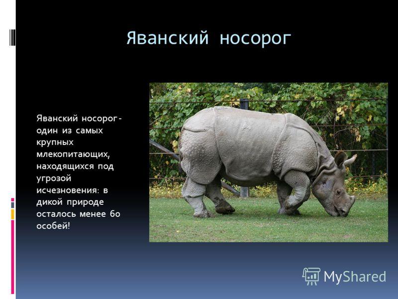 Яванский носорог Яванский носорог - один из самых крупных млекопитающих, находящихся под угрозой исчезновения: в дикой природе осталось менее 60 особей!