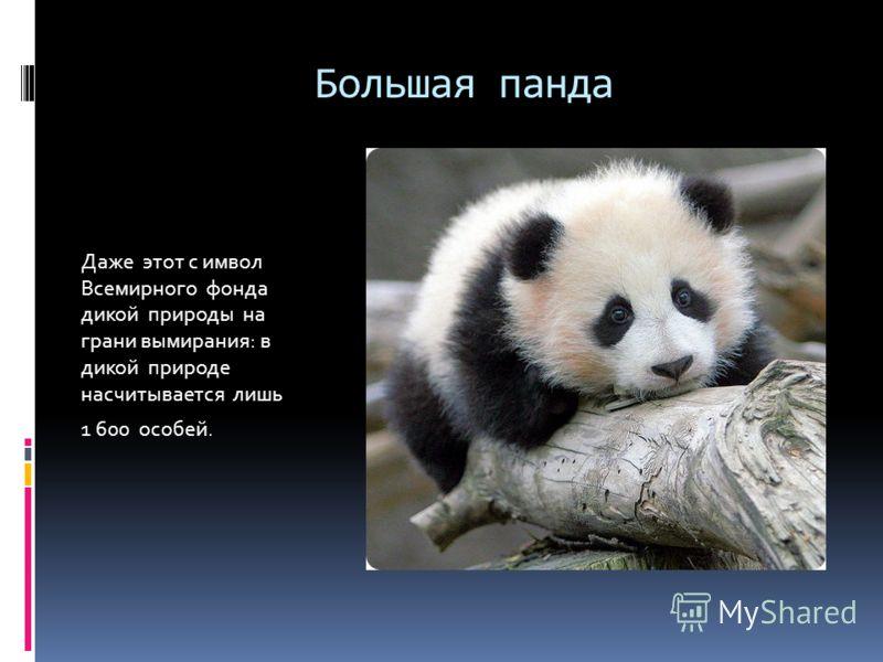 Большая панда Даже этот с имвол Всемирного фонда дикой природы на грани вымирания: в дикой природе насчитывается лишь 1 600 особей.