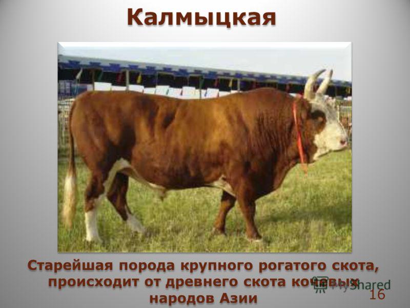 Калмыцкая Cтарейшая порода крупного рогатого скота, происходит от древнего скота кочевых народов Азии 16
