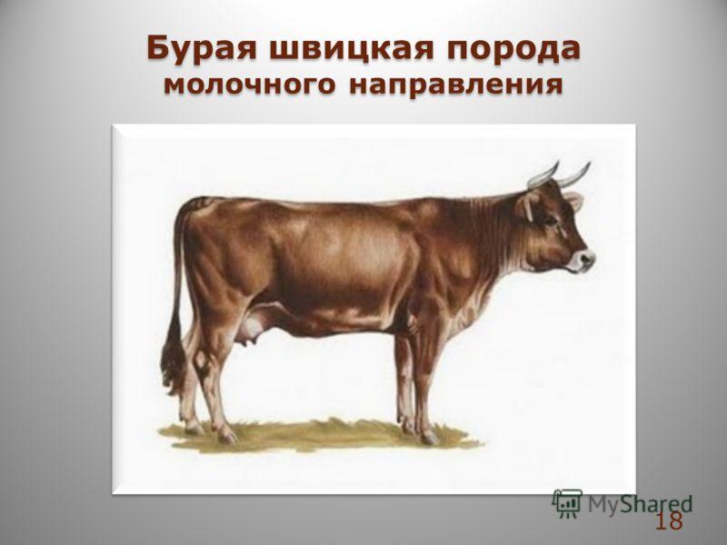 Бурая швицкая порода молочного направления Бурая швицкая порода молочного направления 18