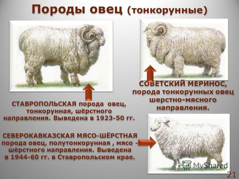 СОВЕТСКИЙ МЕРИНОС, порода тонкорунных овец шерстно-мясного направления. СТАВРОПОЛЬСКАЯ порода овец, тонкорунная, шёрстного направления. Выведена в 1923-50 гг. СЕВЕРОКАВКАЗСКАЯ МЯСО-ШЁРСТНАЯ порода овец, полутонкорунная, мясо - шёрстного направления.