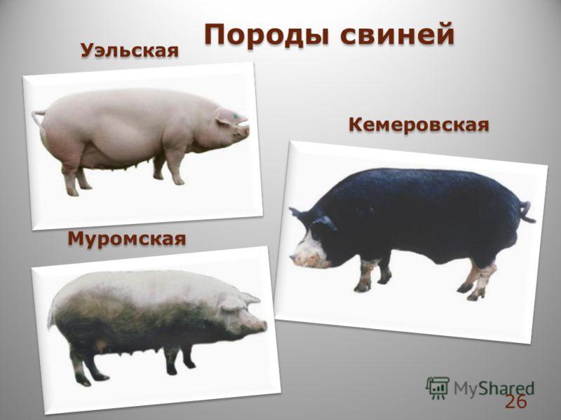 Уэльская Кемеровская Муромская Породы свиней 26