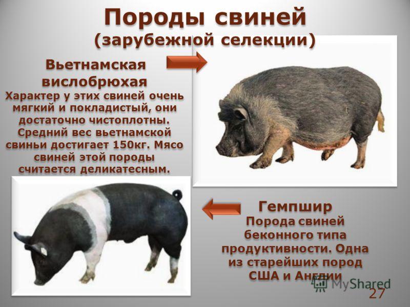 Вьетнамская вислобрюхая Характер у этих свиней очень мягкий и покладистый, они достаточно чистоплотны. Средний вес вьетнамской свиньи достигает 150кг. Мясо свиней этой породы считается деликатесным. Вьетнамская вислобрюхая Характер у этих свиней очен