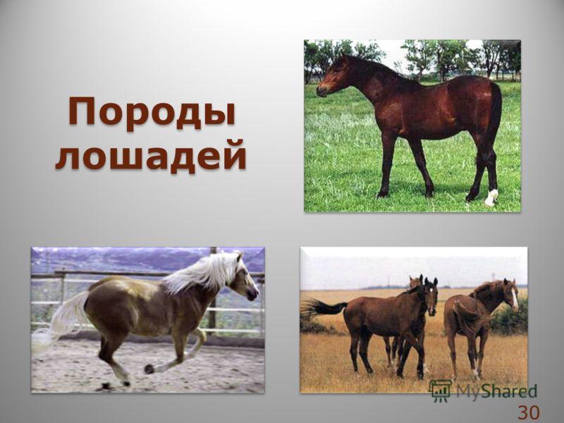 Породы лошадей Породы лошадей 30