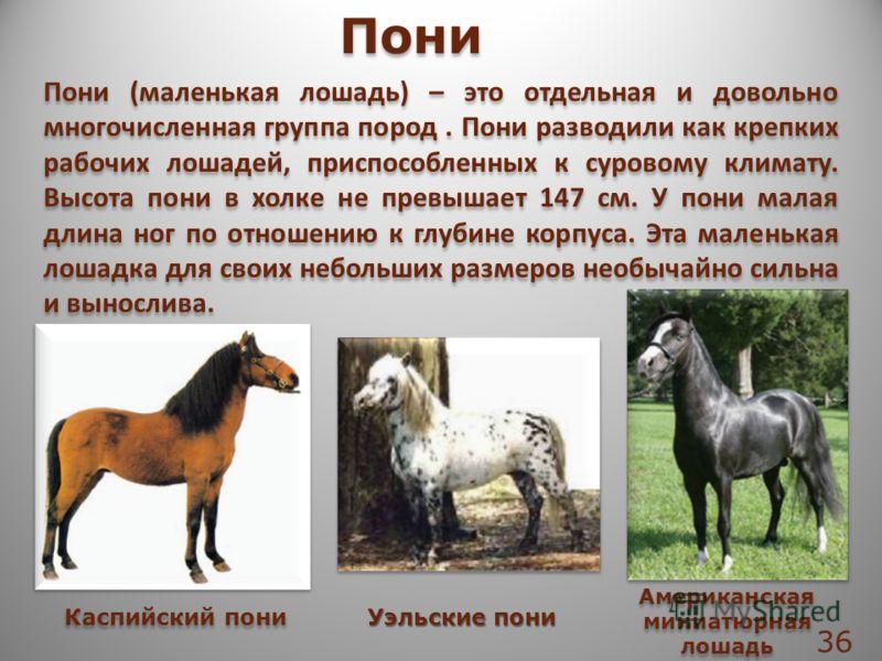 Пони (маленькая лошадь) – это отдельная и довольно многочисленная группа пород. Пони разводили как крепких рабочих лошадей, приспособленных к суровому климату. Высота пони в холке не превышает 147 см. У пони малая длина ног по отношению к глубине кор