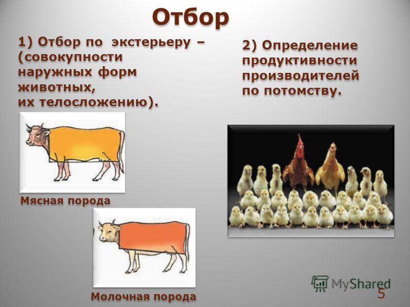 1) Отбор по экстерьеру – (совокупности наружных форм животных, их телосложению). 1) Отбор по экстерьеру – (совокупности наружных форм животных, их телосложению). Отбор Мясная порода Молочная порода 2) Определение продуктивности производителей по пото