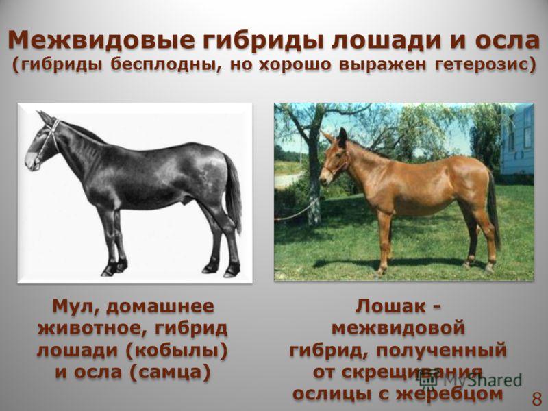 Лошак - межвидовой гибрид, полученный от скрещивания ослицы с жеребцом Мул, домашнее животное, гибрид лошади (кобылы) и осла (самца) Межвидовые гибриды лошади и осла (гибриды бесплодны, но хорошо выражен гетерозис) Межвидовые гибриды лошади и осла (г