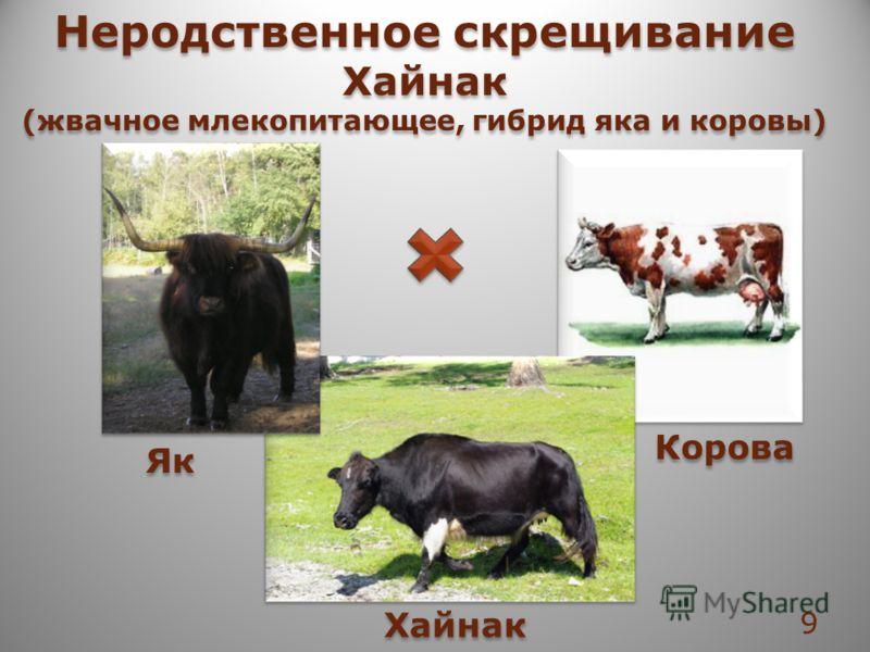 Неродственное скрещивание Хайнак (жвачное млекопитающее, гибрид яка и коровы) Неродственное скрещивание Хайнак (жвачное млекопитающее, гибрид яка и коровы) Як Корова Хайнак 9