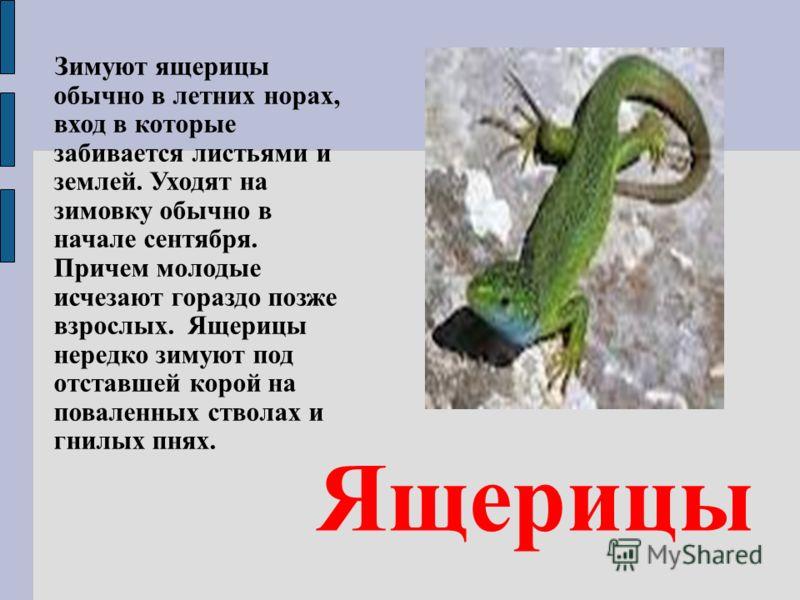 Ящерицы Зимуют ящерицы обычно в летних норах, вход в которые забивается листьями и землей. Уходят на зимовку обычно в начале сентября. Причем молодые исчезают гораздо позже взрослых. Ящерицы нередко зимуют под отставшей корой на поваленных стволах и