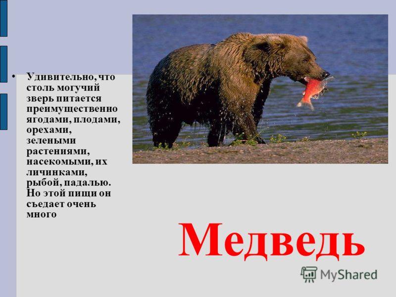 Медведь Удивительно, что столь могучий зверь питается преимущественно ягодами, плодами, орехами, зелеными растениями, насекомыми, их личинками, рыбой, падалью. Но этой пищи он съедает очень много
