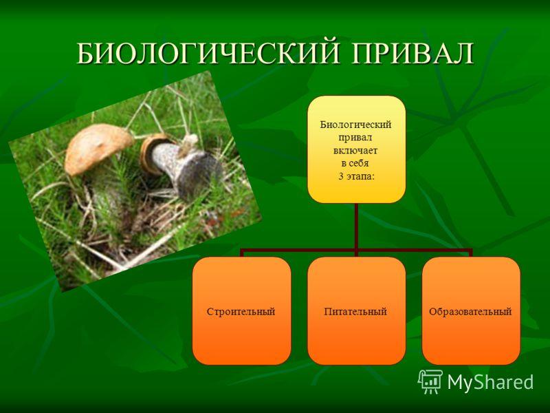 БИОЛОГИЧЕСКИЙ ПРИВАЛ Биологический привал включает в себя 3 этапа: СтроительныйПитательныйОбразовательный