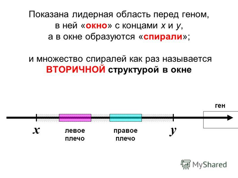Показана лидерная область перед геном, в ней «окно» с концами x и y, а в окне образуются «спирали»; и множество спиралей как раз называется ВТОРИЧНОЙ структурой в окне ген левое плечо правое плечо xy