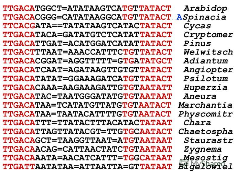 TTGACATGGCT=ATATAAGTCATGTTATACT Arabidop TTGACACGGG=CATATAAGGCATGTTATACT... ASpinacia TTCACGATA==TATATAAGTCATACTATACT Cycas TTGACATACA=GATATGTCTCATATTATACT Cryptomer TTGACATTGAT=ACATGGATCATATTATACT Pinus TTGACTTTAAT=AAACCATTTCTGTTATACT Welwitsch TTGA