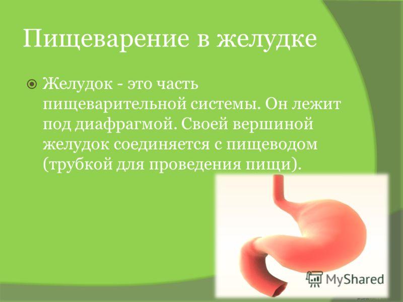 Пищеварение в желудке Желудок - это часть пищеварительной системы. Он лежит под диафрагмой. Своей вершиной желудок соединяется с пищеводом (трубкой для проведения пищи).