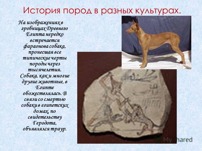 История пород в разных культурах. На изображениях в гробницах Древнего Египта нередко встречается фараонова собака, пронесшая все типические черты породы через тысячелетия. Собака, как и многие другие животные, в Египте обожествлялась. В связи со сме
