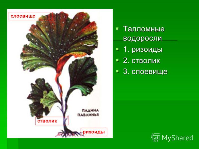Строение водорослей Одноклеточные водоросли Одноклеточные водоросли 1. оболочка 1. оболочка 2. цитоплазма 2. цитоплазма 3. вакуоли 3. вакуоли 4. хроматофор 4. хроматофор 5. крахмальное тельце 5. крахмальное тельце 6. светочувствительный глазок 6. све