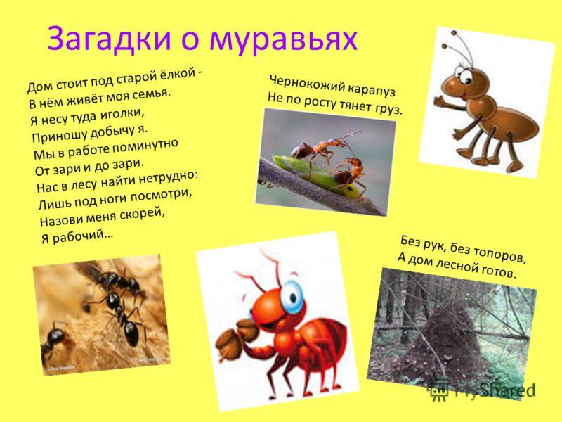 Загадки о муравьях Дом стоит под старой ёлкой - В нём живёт моя семья. Я несу туда иголки, Приношу добычу я. Мы в работе поминутно От зари и до зари. Нас в лесу найти нетрудно: Лишь под ноги посмотри, Назови меня скорей, Я рабочий… Чернокожий карапуз