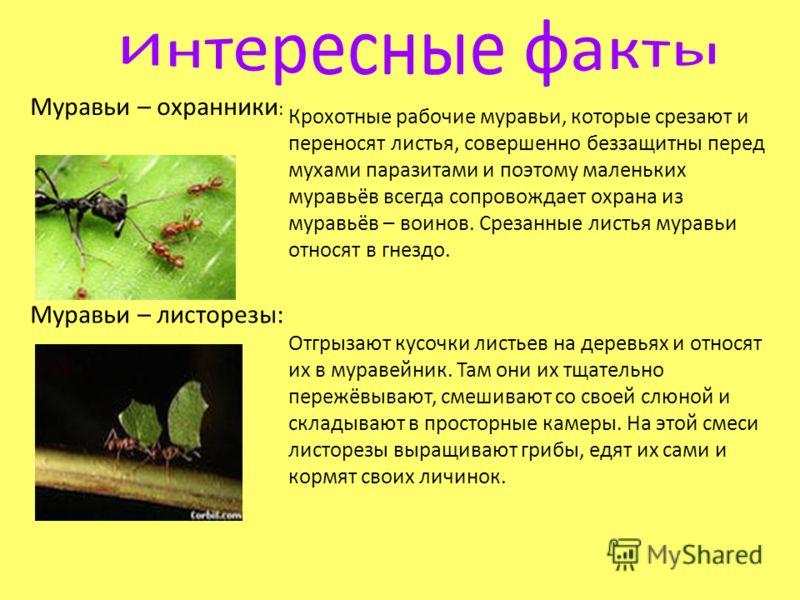Муравьи – охранники : Крохотные рабочие муравьи, которые срезают и переносят листья, совершенно беззащитны перед мухами паразитами и поэтому маленьких муравьёв всегда сопровождает охрана из муравьёв – воинов. Срезанные листья муравьи относят в гнездо