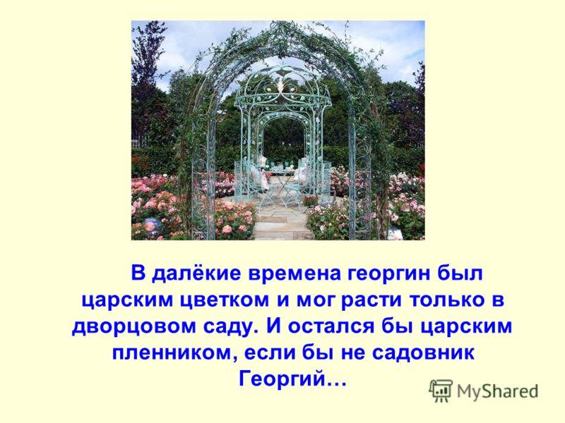 В далёкие времена георгин был царским цветком и мог расти только в дворцовом саду. И остался бы царским пленником, если бы не садовник Георгий…