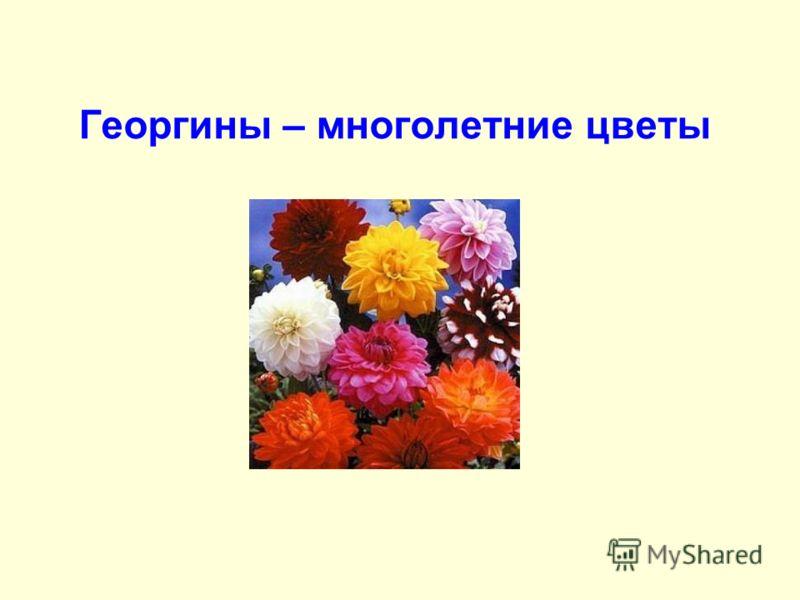 Георгины – многолетние цветы