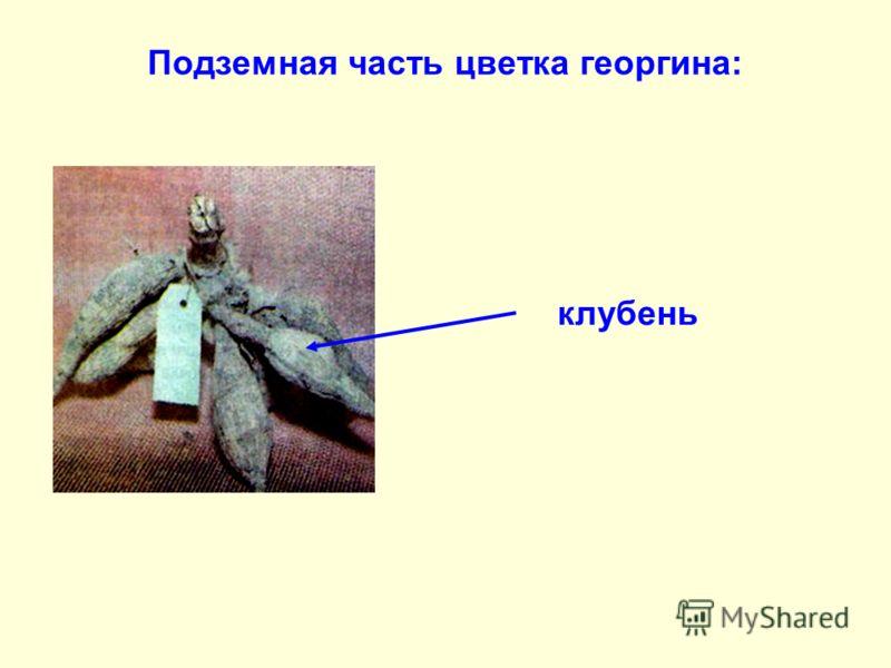 клубень Подземная часть цветка георгина: