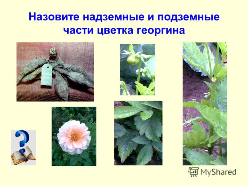 Назовите надземные и подземные части цветка георгина