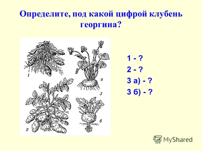 Определите, под какой цифрой клубень георгина? 1 - ? 2 - ? 3 а) - ? 3 б) - ?