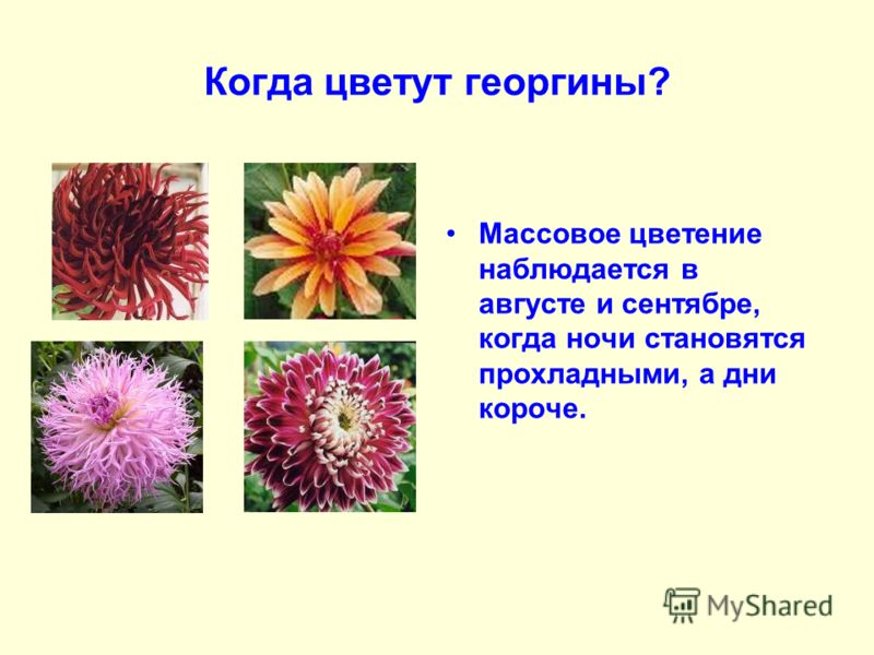Когда цветут георгины? Массовое цветение наблюдается в августе и сентябре, когда ночи становятся прохладными, а дни короче.