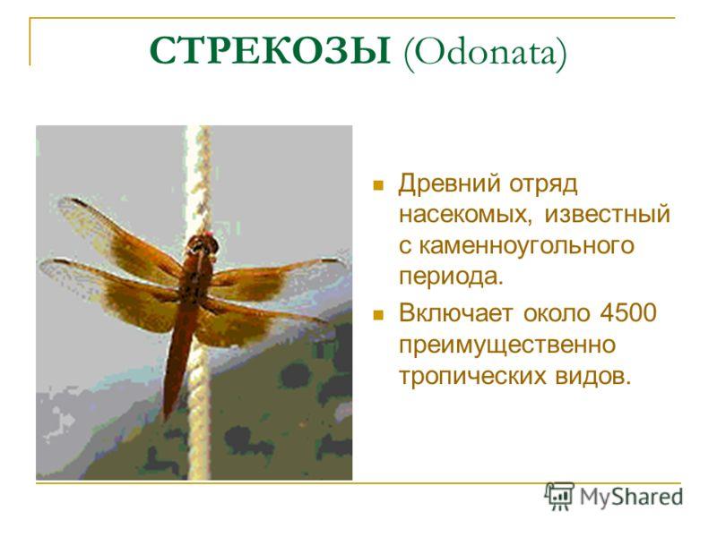 СТРЕКОЗЫ (Odonata) Древний отряд насекомых, известный с каменноугольного периода. Включает около 4500 преимущественно тропических видов.