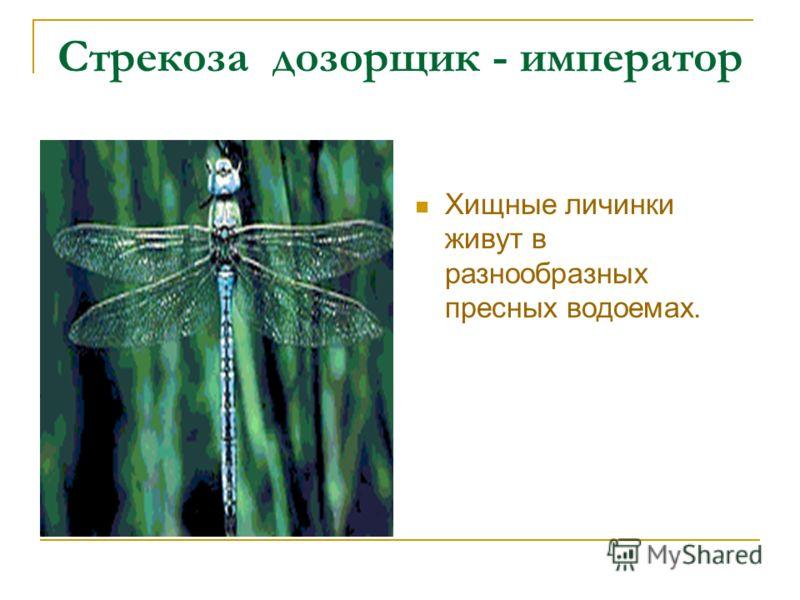 Стрекоза дозорщик - император Хищные личинки живут в разнообразных пресных водоемах.