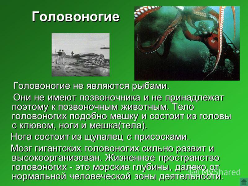 Головоногие Головоногие не являются рыбами. Они не имеют позвоночника и не принадлежат поэтому к позвоночным животным. Тело головоногих подобно мешку и состоит из головы с клювом, ноги и мешка(тела). Нога состоит из щупалец с присосками. Мозг гигантс