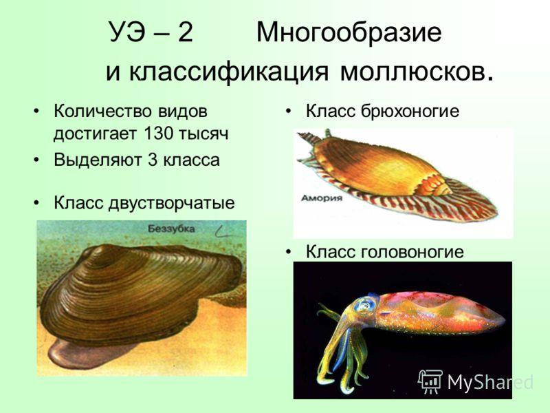 УЭ – 2 Многообразие и классификация моллюсков. Количество видов достигает 130 тысяч Выделяют 3 класса Класс брюхоногие Класс двустворчатые Класс головоногие