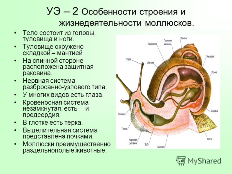 УЭ – 2 Особенности строения и жизнедеятельности моллюсков. Тело состоит из головы, туловища и ноги. Туловище окружено складкой – мантией На спинной стороне расположена защитная раковина. Нервная система разбросанно-узлового типа. У многих видов есть