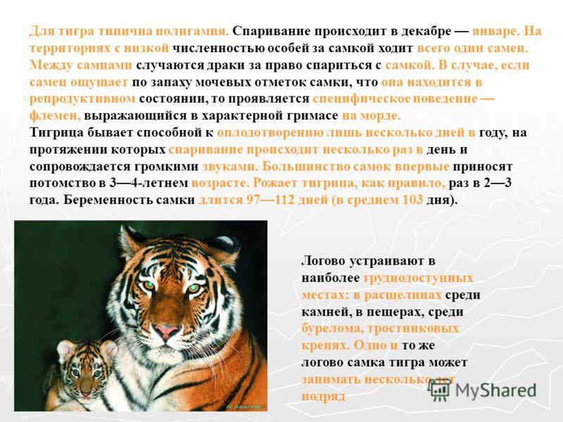 Для тигра типична полигамия. Спаривание происходит в декабре январе. На территориях с низкой численностью особей за самкой ходит всего один самец. Между самцами случаются драки за право спариться с самкой. В случае, если самец ощущает по запаху мочев