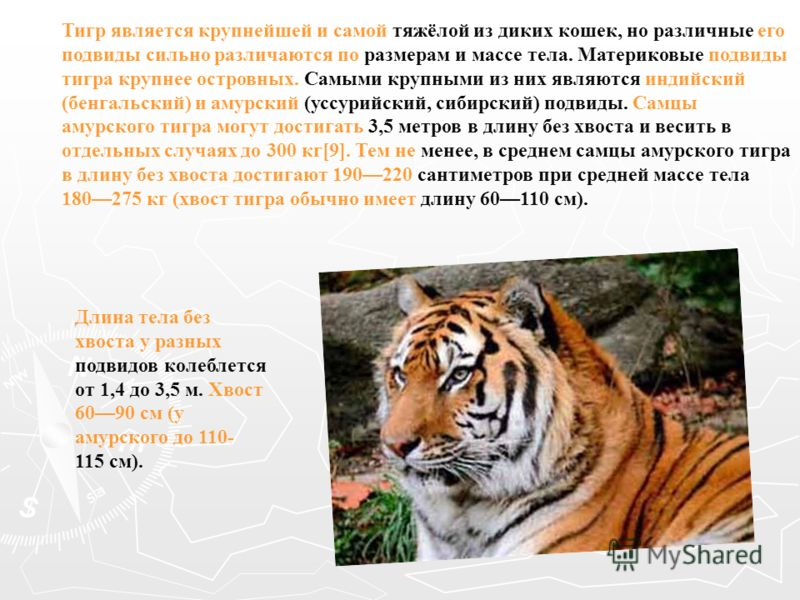 Тигр является крупнейшей и самой тяжёлой из диких кошек, но различные его подвиды сильно различаются по размерам и массе тела. Материковые подвиды тигра крупнее островных. Самыми крупными из них являются индийский (бенгальский) и амурский (уссурийски