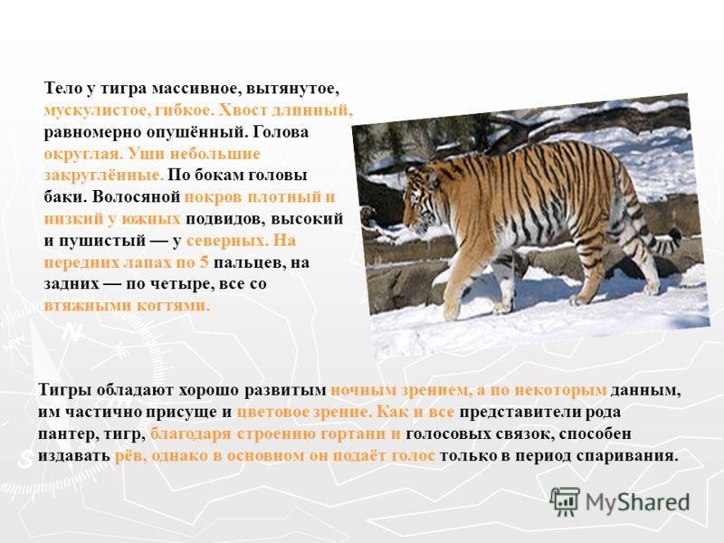 Тело у тигра массивное, вытянутое, мускулистое, гибкое. Хвост длинный, равномерно опушённый. Голова округлая. Уши небольшие закруглённые. По бокам головы баки. Волосяной покров плотный и низкий у южных подвидов, высокий и пушистый у северных. На пере